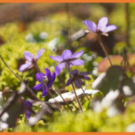 sinivuokkoja keväisessä metsässä